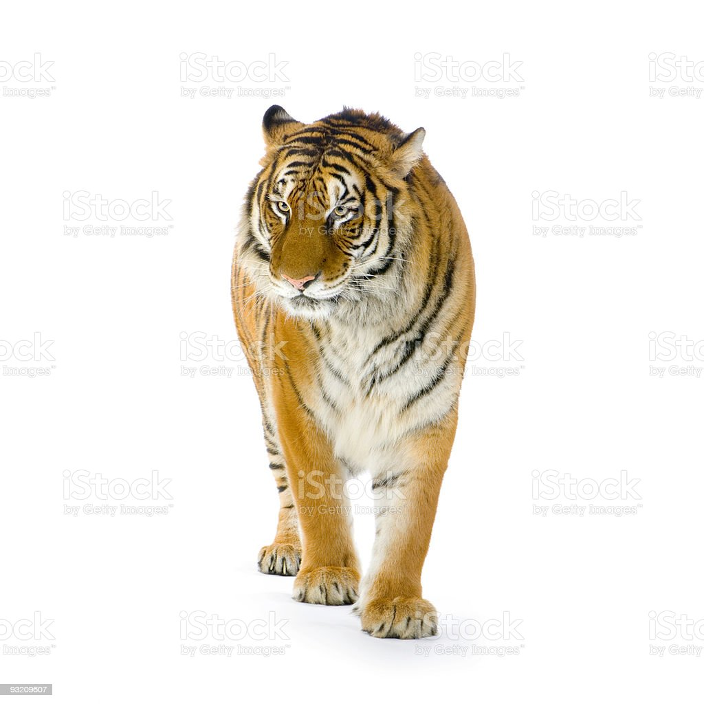 Lone tiger with orange and white stripes on white backdrop stock photo
