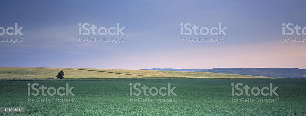Lone Tree by Wheat Fields royalty-free stock photo