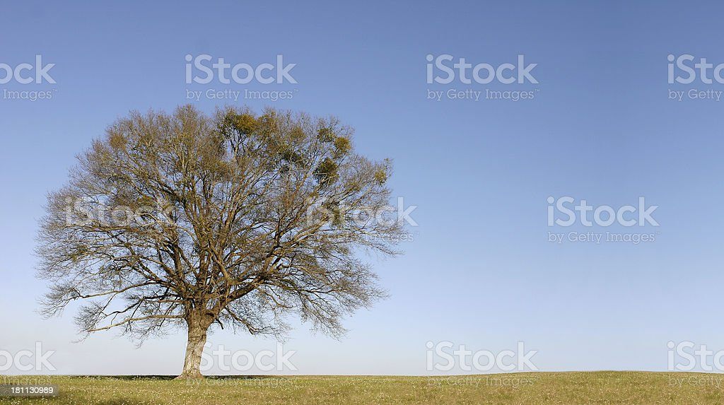 Lone Tree Clear Blue Sky - Space for Copy royalty-free stock photo