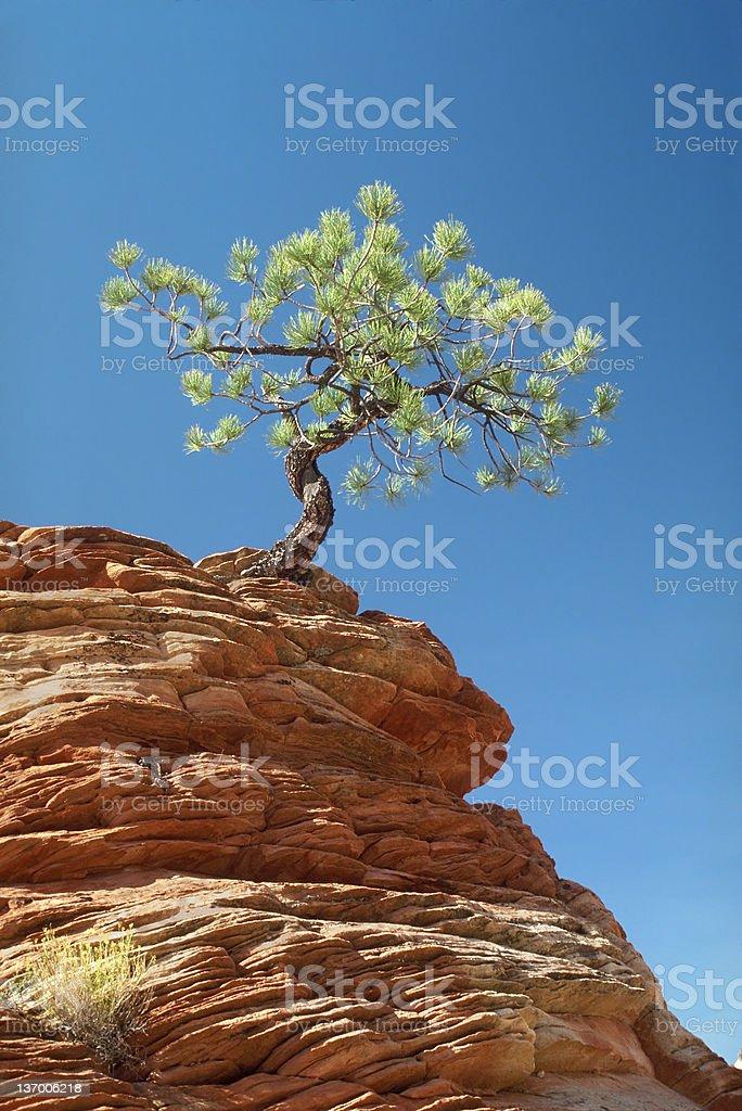 Lone Tree Clinging To Ledge royalty-free stock photo