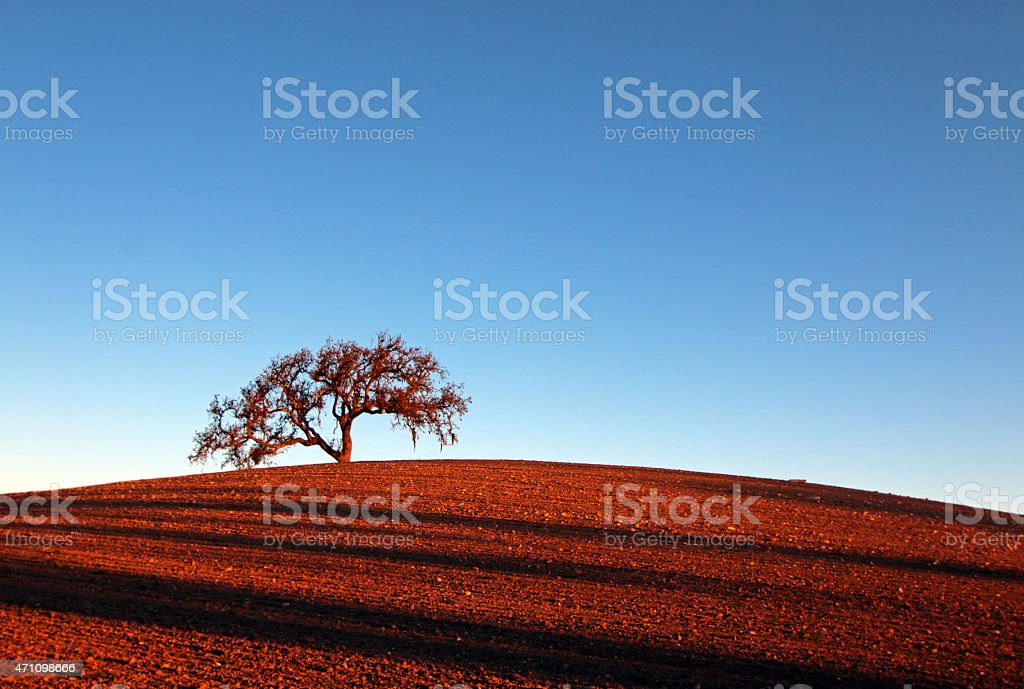 Lone tree early morning sun Paso Robles on plowed hill stock photo