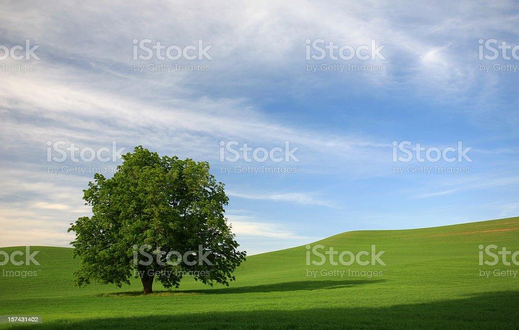 Lone Tree in a Rolling Green Field stock photo