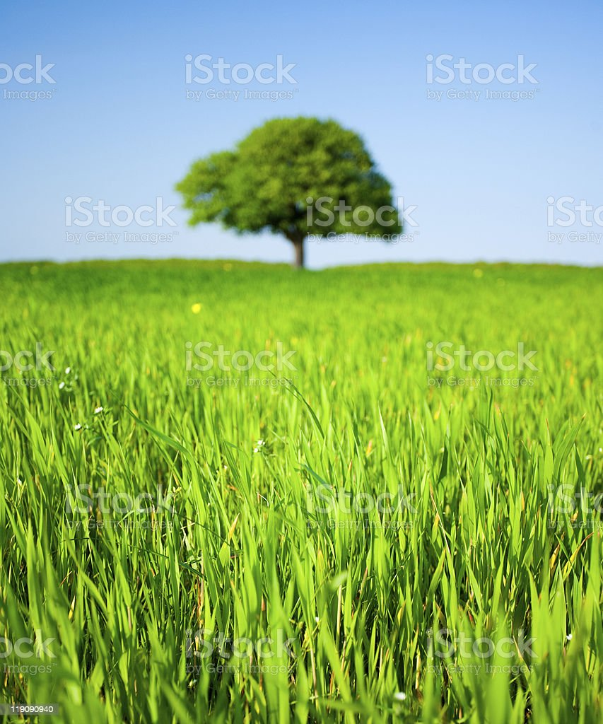Lone tree in a wheat field royalty-free stock photo