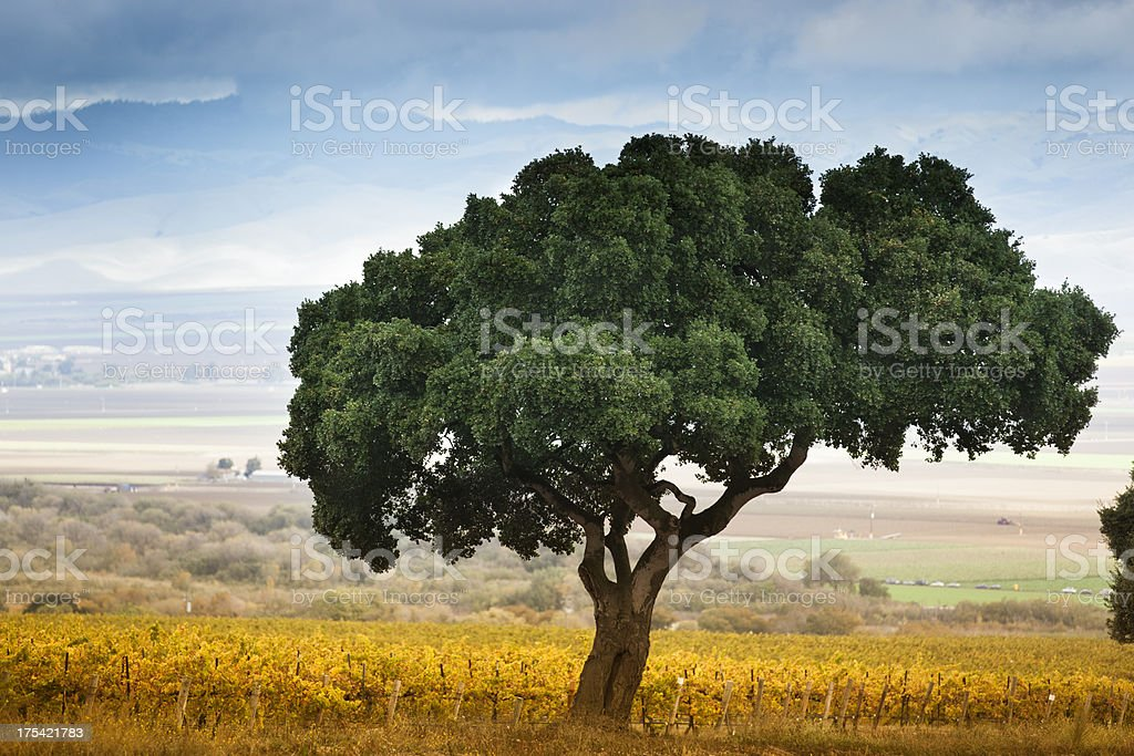 Lone tree in Carmel Valley stock photo