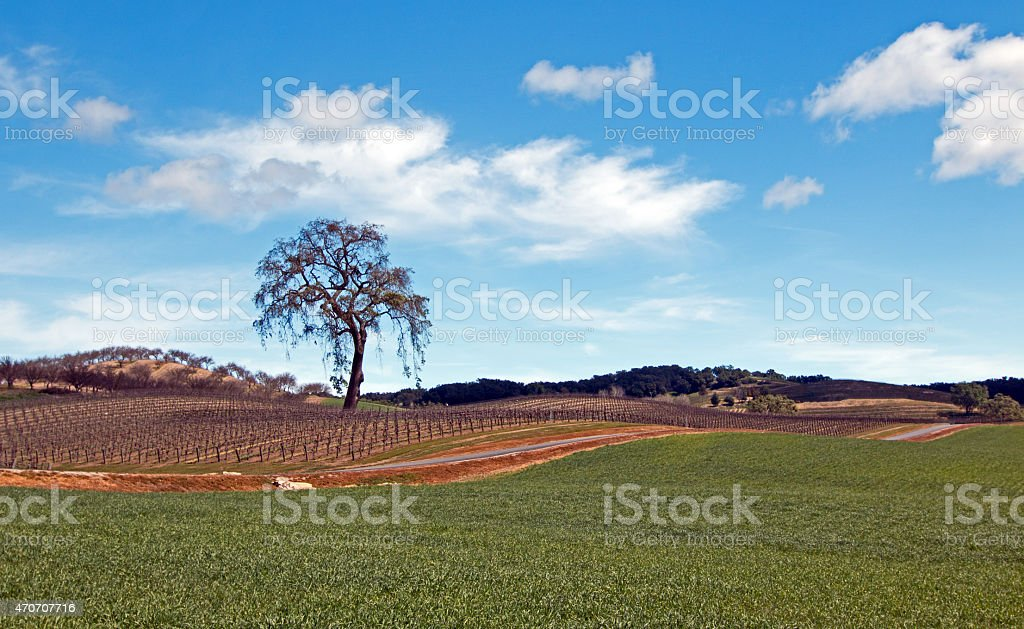 Lone Tree in Central California Wine Country stock photo