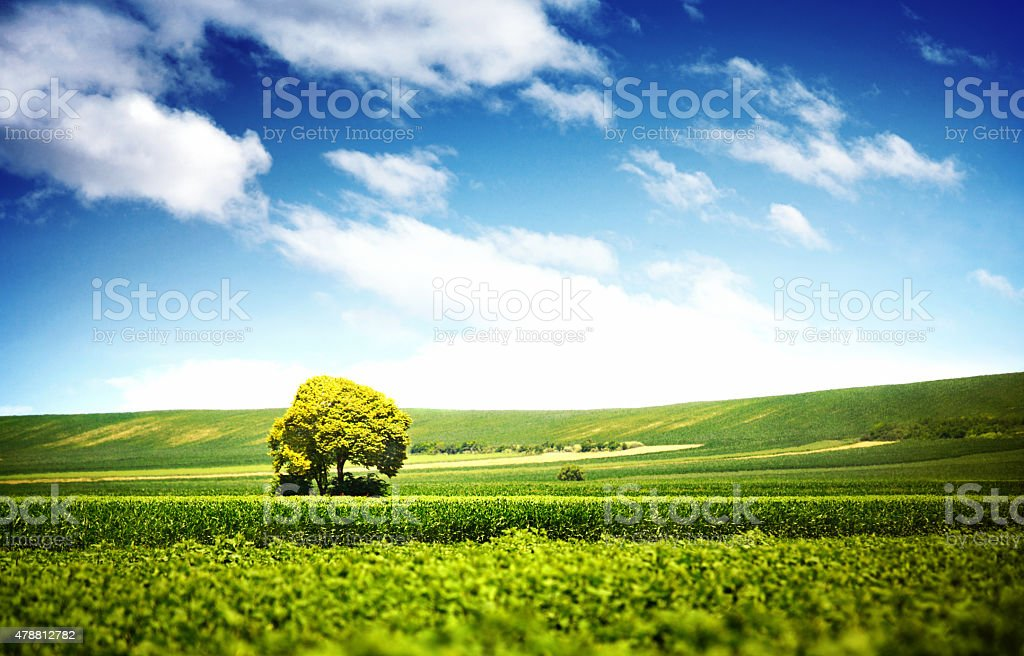 Lone tree in crops area. stock photo