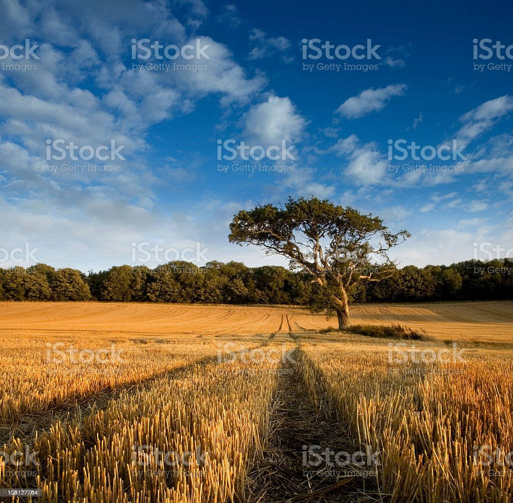 Lone Tree in Harvested Field of Straw royalty-free stock photo