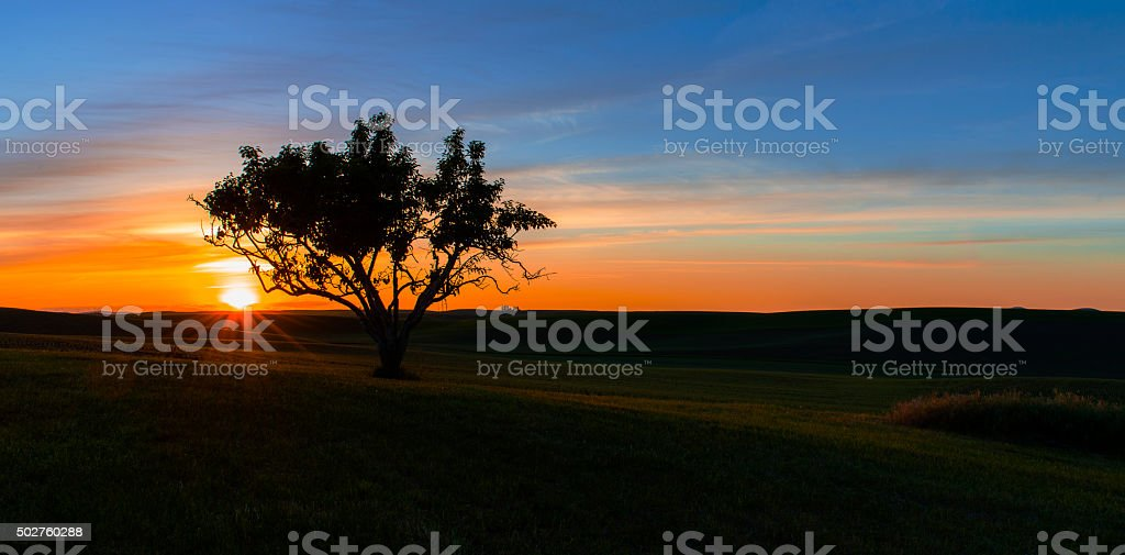 Lone Tree in Palouse stock photo