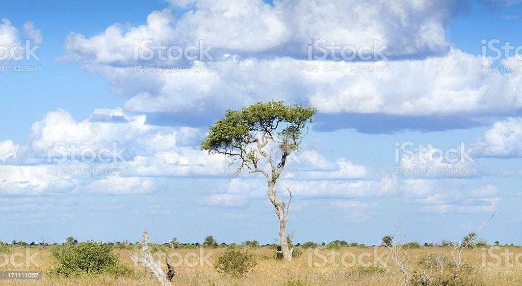 Lone Tree in South Africa Savannah royalty-free stock photo