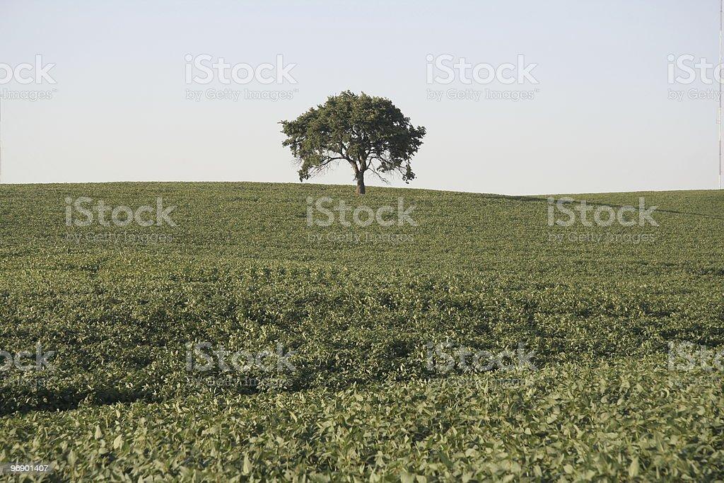 Lone Tree in Soybean Field royalty-free stock photo