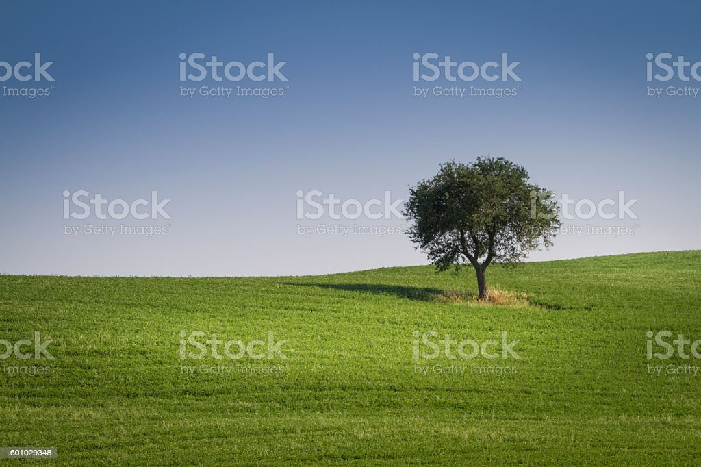 Lone tree in the green field stock photo