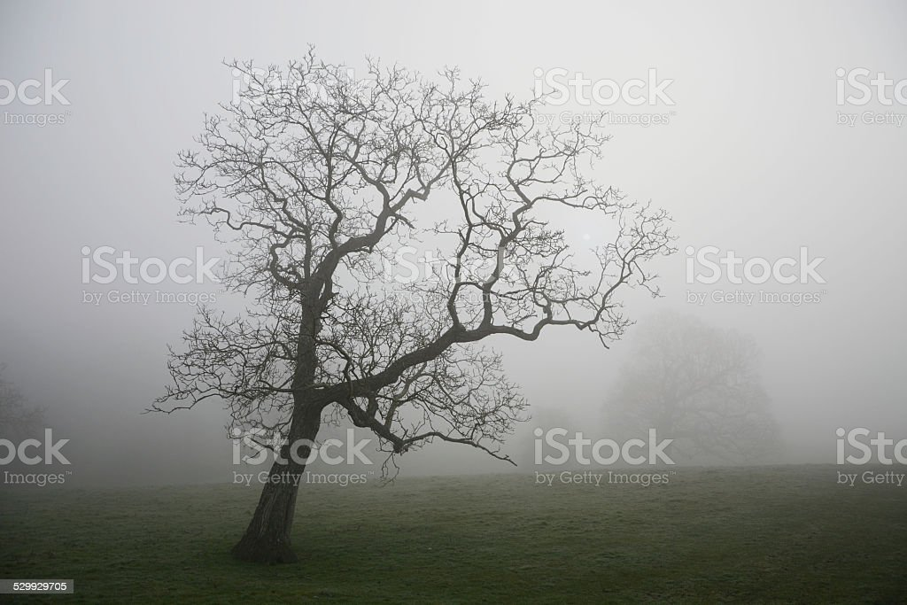 Lone tree in the mist stock photo