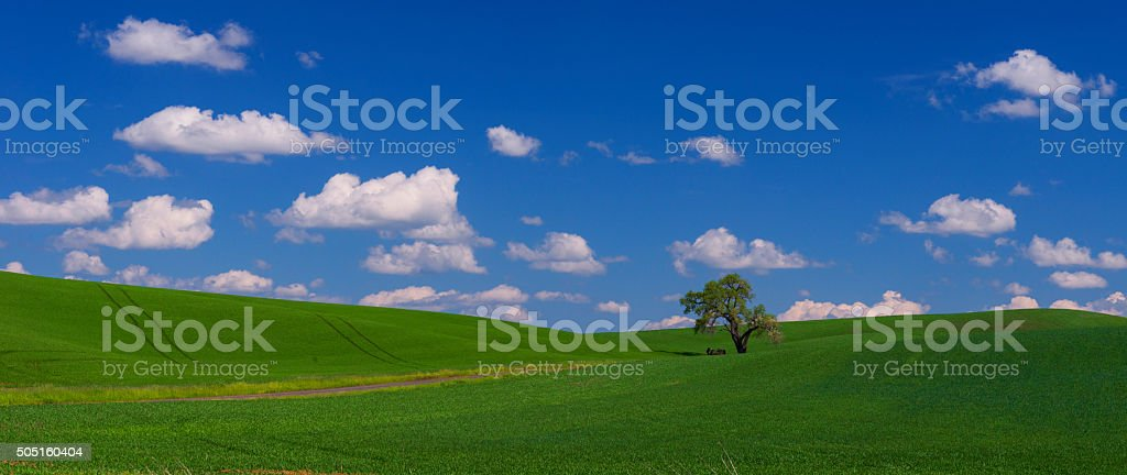 Lone Tree in the Palouse stock photo