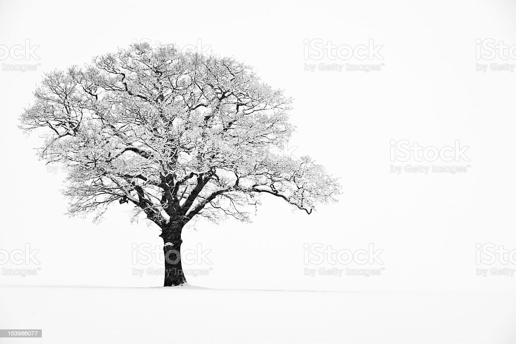 Lone Tree in the Snow stock photo