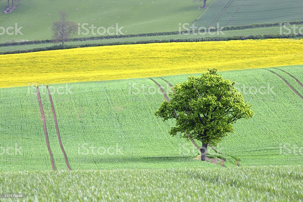 lone tree on green and yellow  fields royalty-free stock photo