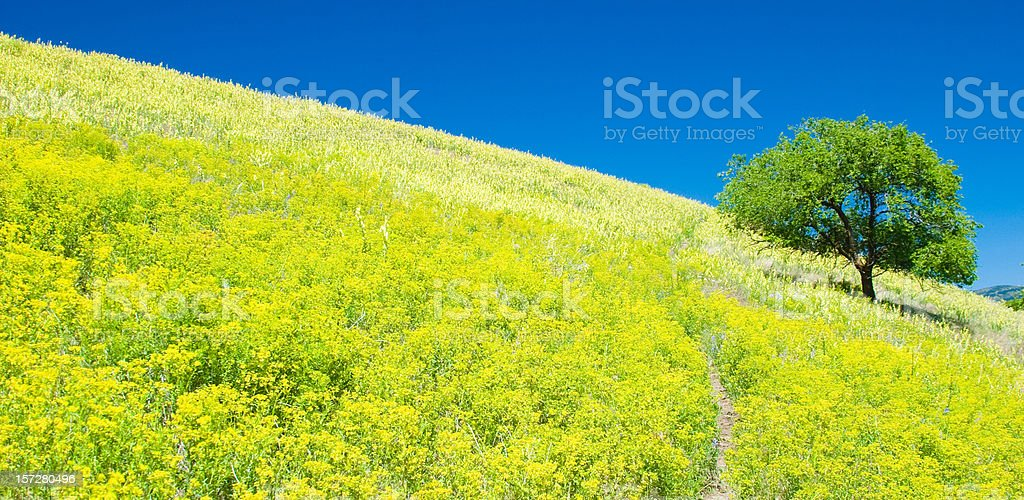 Lone Tree on Hill of Yellow Wildflowers royalty-free stock photo