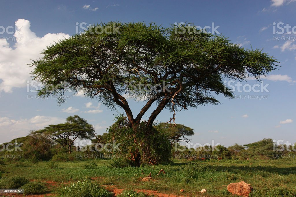 Lone tree on savannah royalty-free stock photo