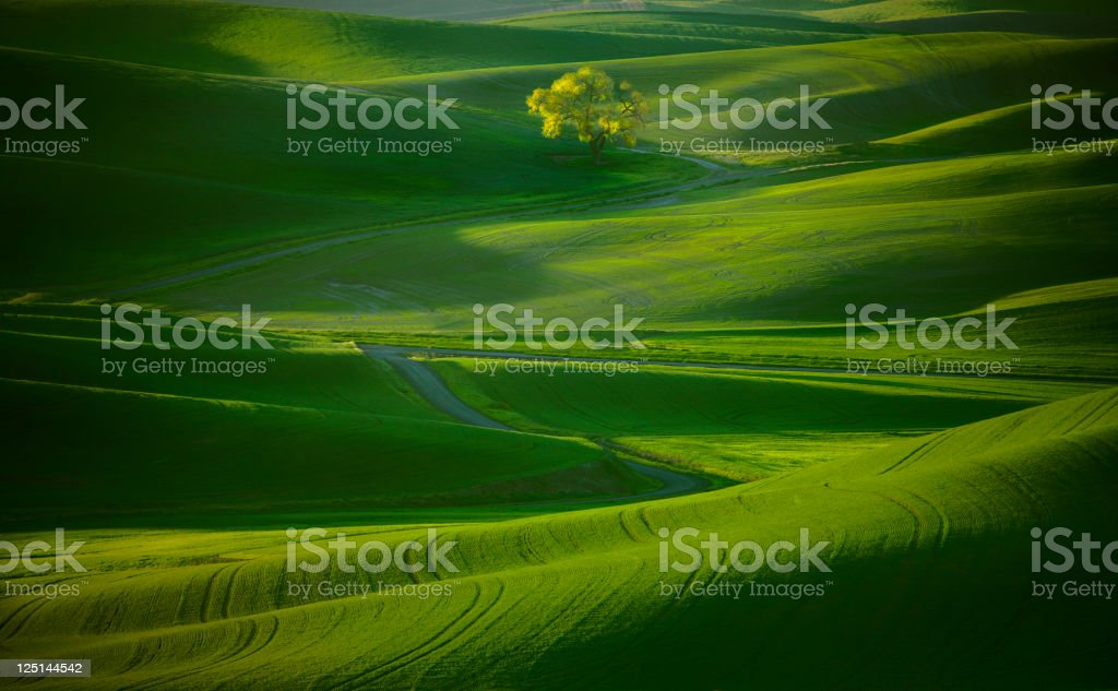 Lone Tree on the Palouse. royalty-free stock photo