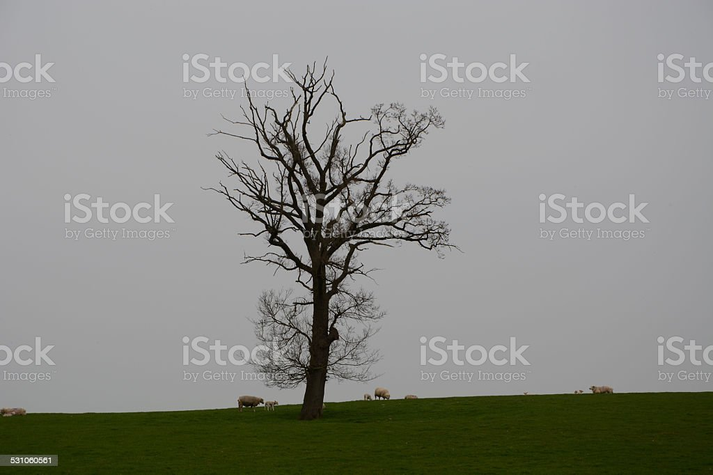 Lone tree with sheep and lambs stock photo