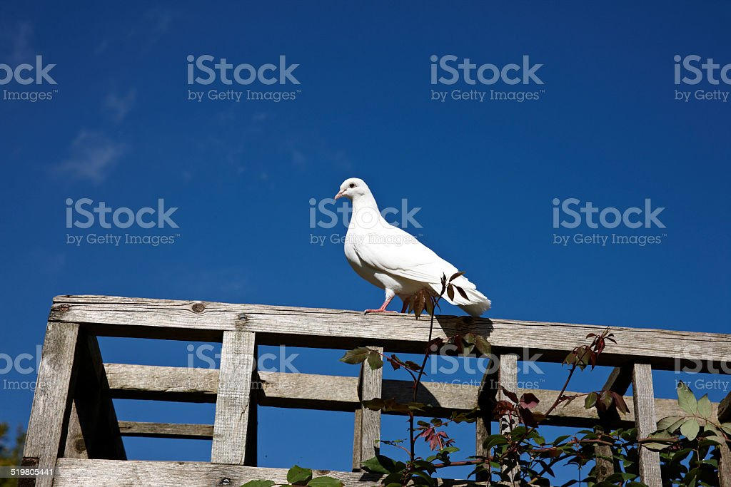 Lone white dove perched on balustrade stock photo