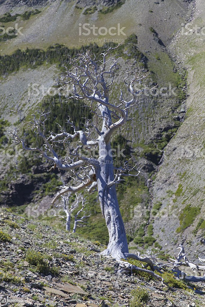 Lone Wind-Swept Tree in the Mountains royalty-free stock photo