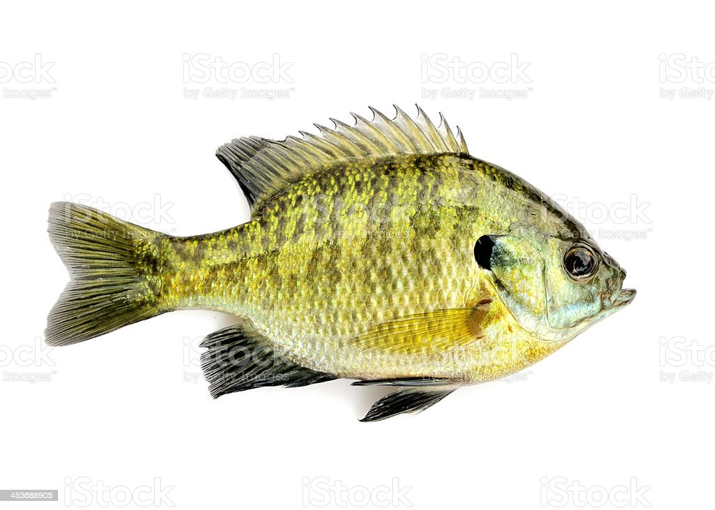 Lone yellow and black colored sunfish over white background royalty-free stock photo