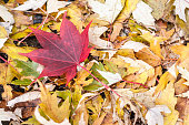 Lone Yellow Leaf Among Pile of Red Leaves