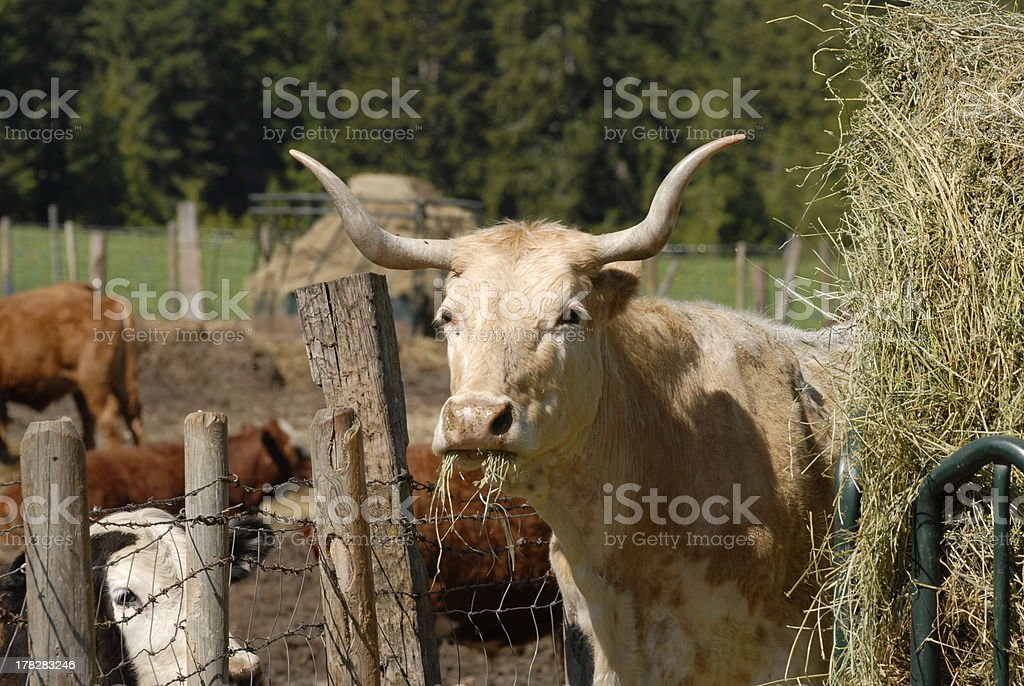 lonehorns royalty-free stock photo