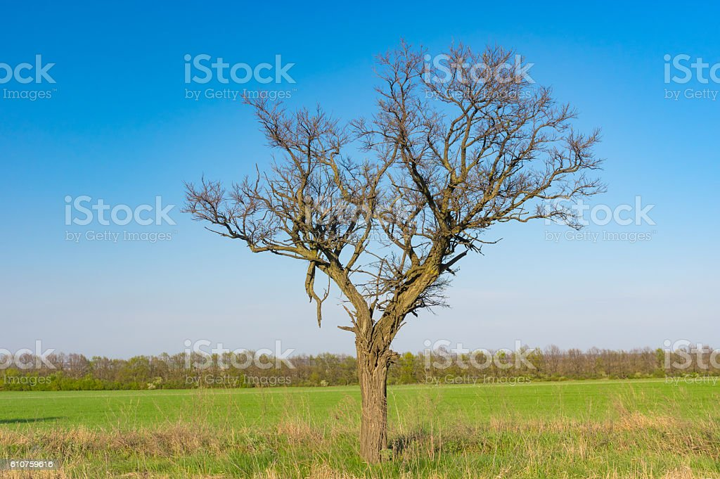 Lonely acacia tree against blue cloudless sky stock photo