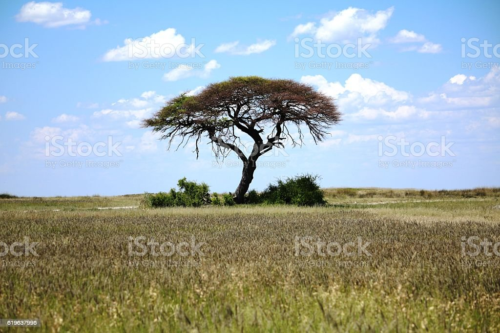 Lonely acacia tree in Namibia, Africa stock photo