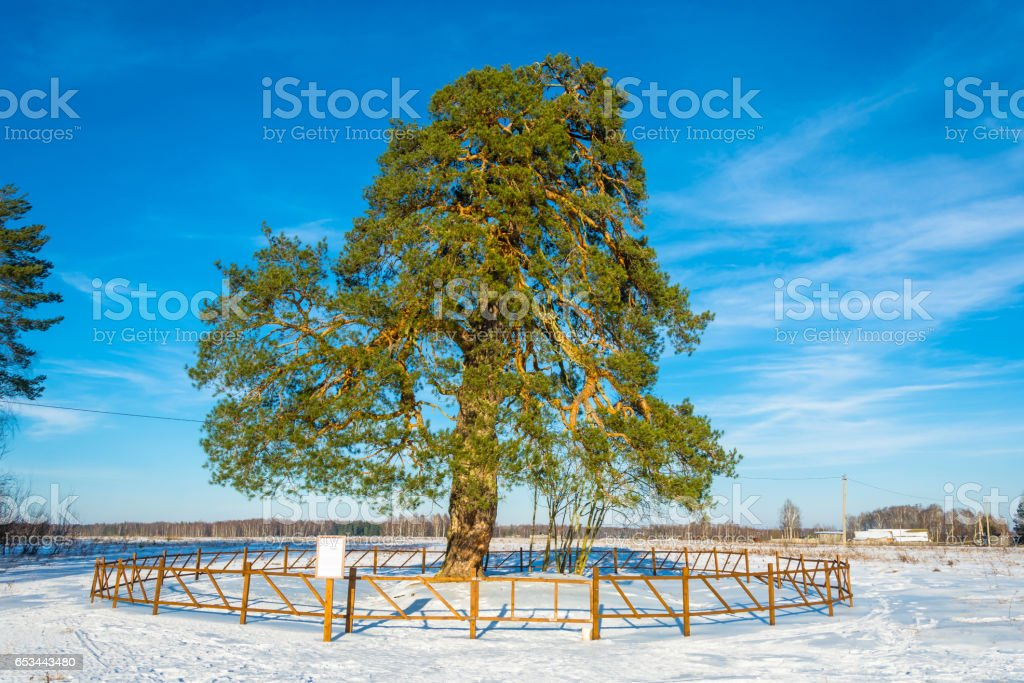 Lonely ancient 500 year old branched pine tree. stock photo