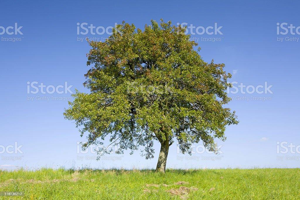Lonely apple tree stock photo