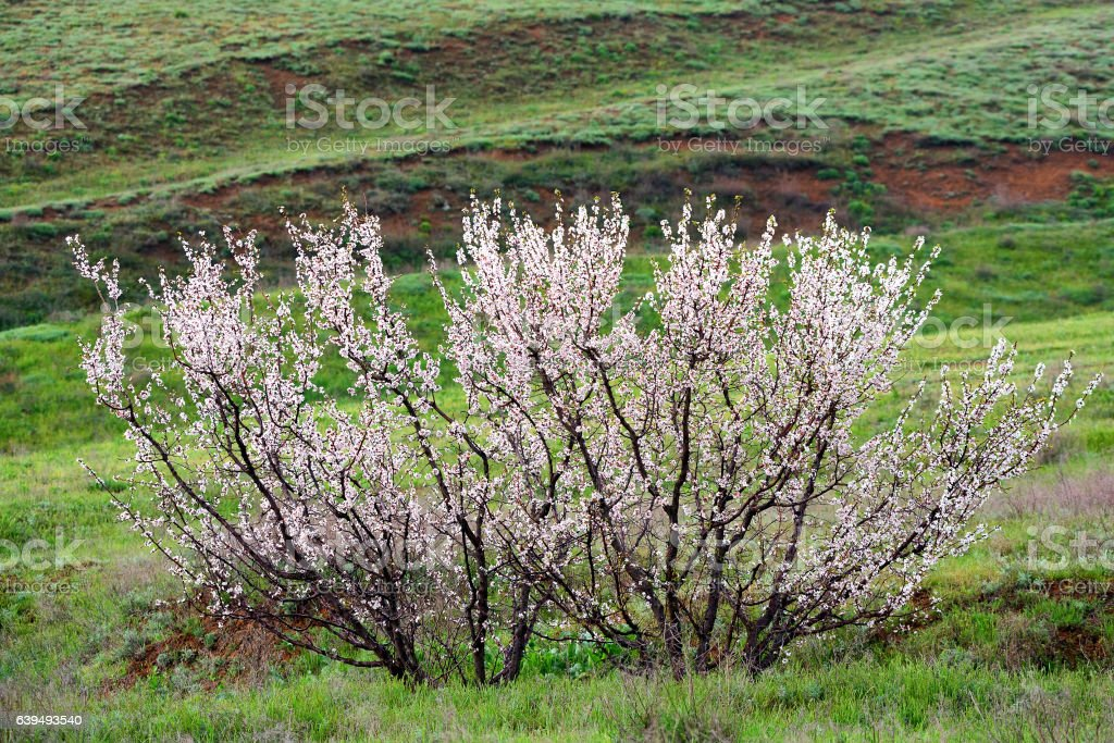 Lonely apricot tree at flowering time stock photo