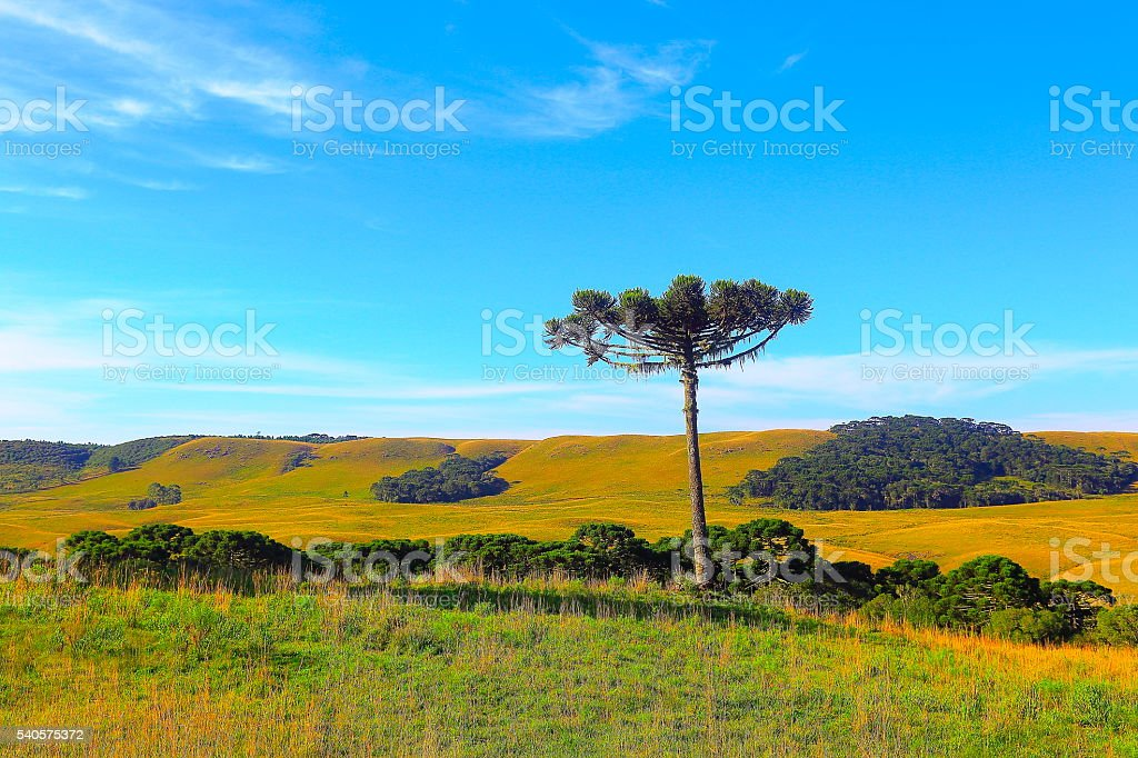 Lonely Araucaria pine tree sunrise, Southern Brazil, Gramado countryside stock photo