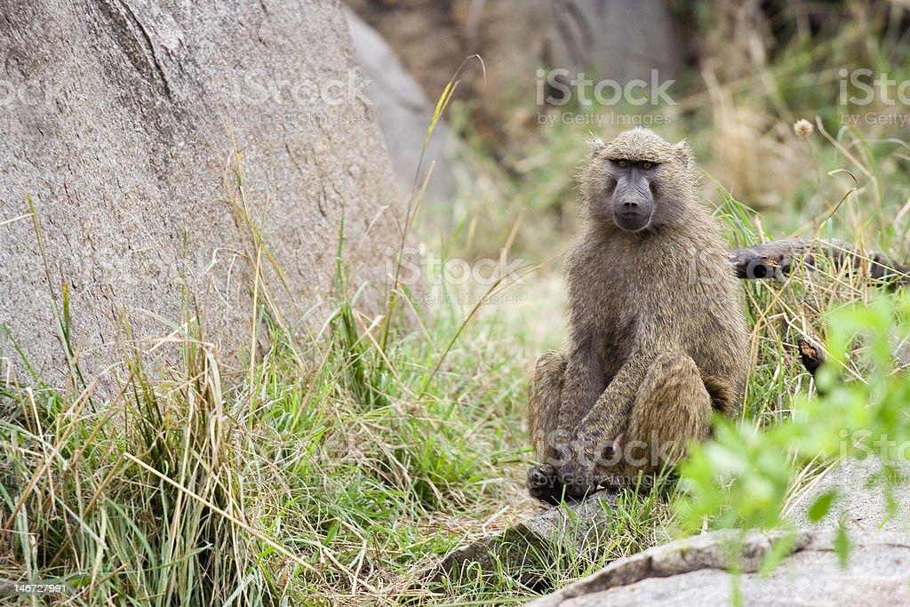 Babouin solitaire assis et d'attendre photo libre de droits