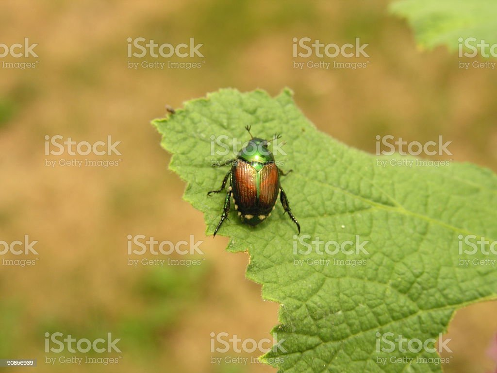 Lonely Beetle stock photo