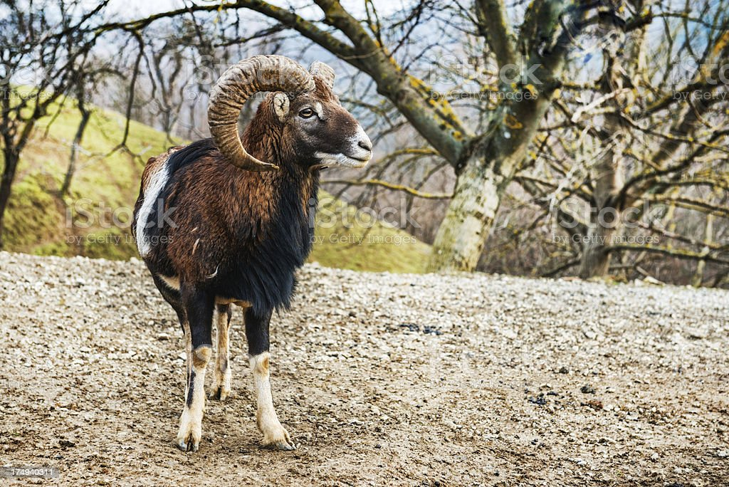 Lonely Big Horn Sheep in the Wild Forrest royalty-free stock photo