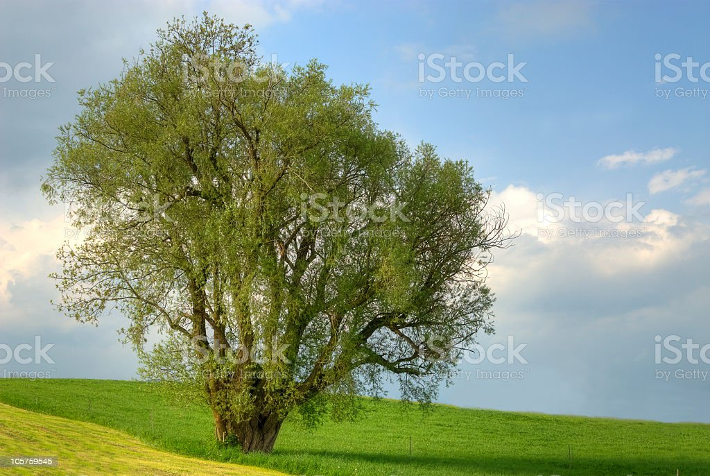 Lonely big Tree HDR stock photo