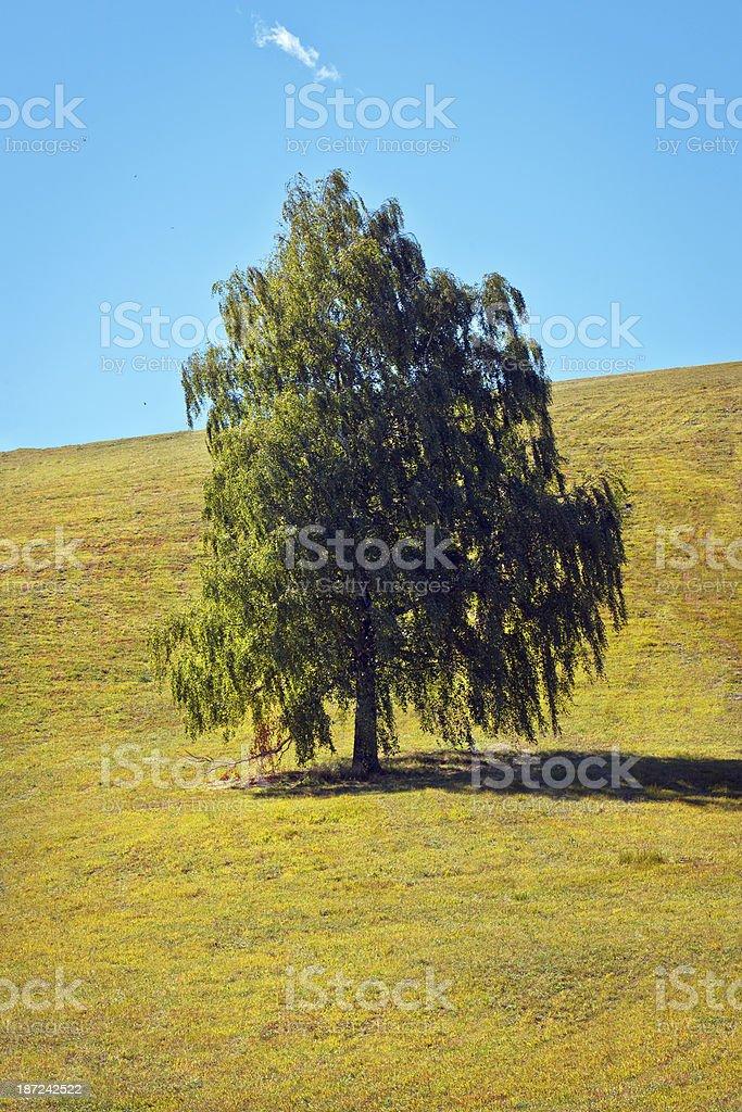 Lonely Birch Tree on Plateau Banjsice Slovenia royalty-free stock photo