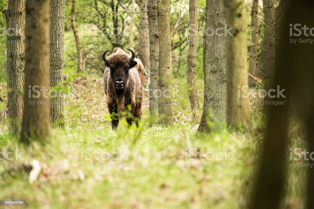 Lonely bison calf in spring forest stock photo