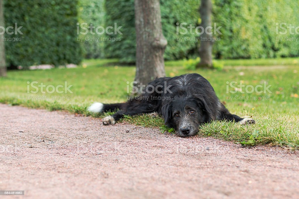 Lonely black dog with sad eyes is laying and waiting stock photo