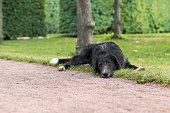 Lonely black dog with sad eyes is laying and waiting