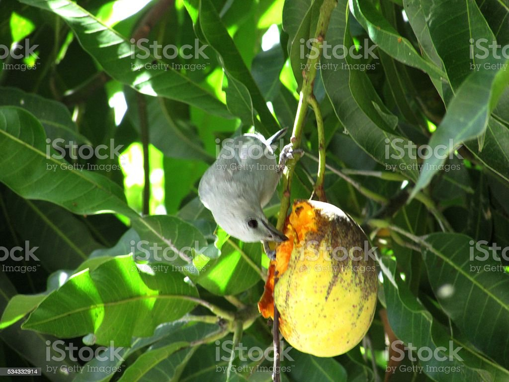 Lonely Bluebird is pecking a mango stock photo