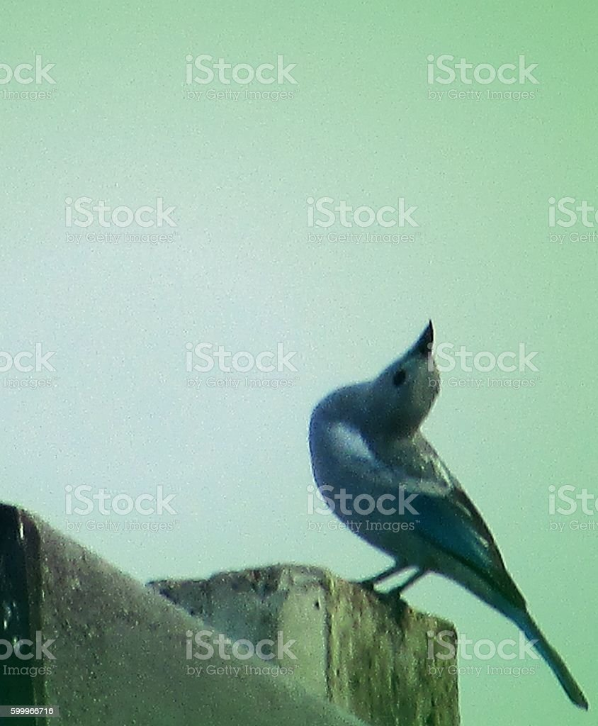 Lonely Bluebird sings and dances to attract his partner stock photo