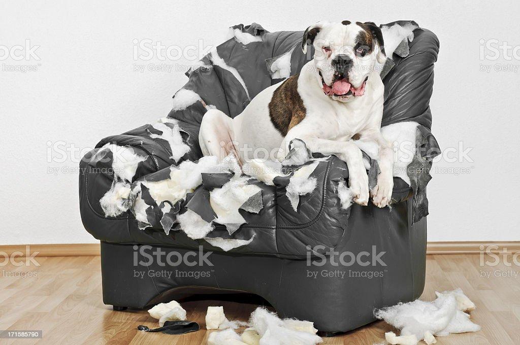 Lonely Boxer dog stock photo
