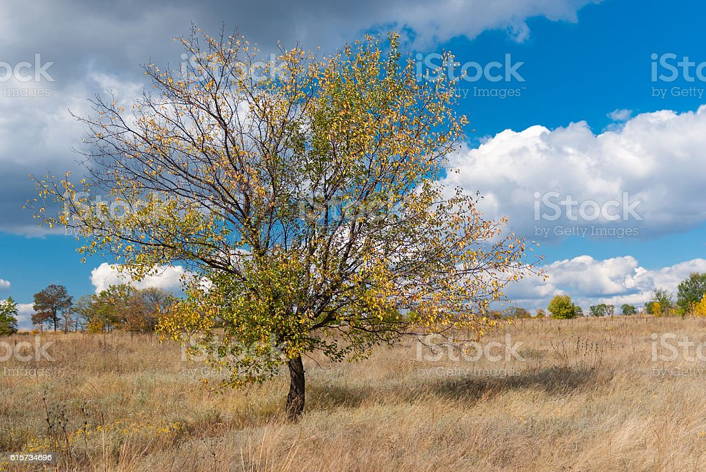 Lonely branchy apricot tree against blue cloudy sky stock photo