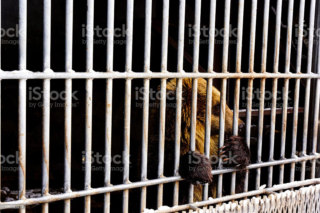 Lonely brown bear in a cage stock photo