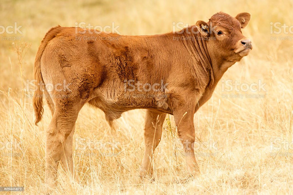 Lonely Brown Cattle stock photo