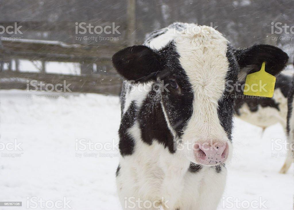 Lonely Calf stock photo