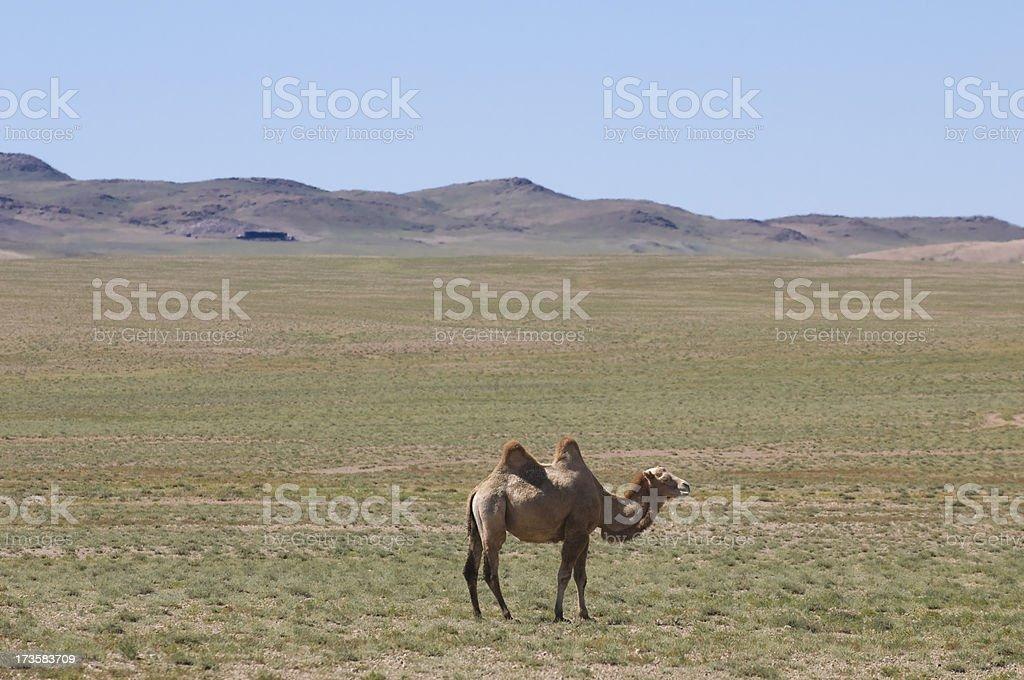 Lonely camel at Gobi Desert, Mongolia royalty-free stock photo